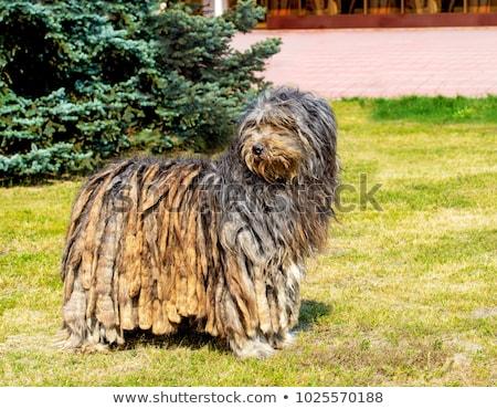 the portrait of bergamasco shepherd dog stock photo © capturelight