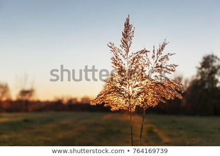 Scenic picture of a meadow full of dandelions Stock photo © fanfo