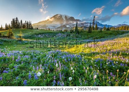 Полевые цветы цвести поздно лет горные Сток-фото © jeffmcgraw