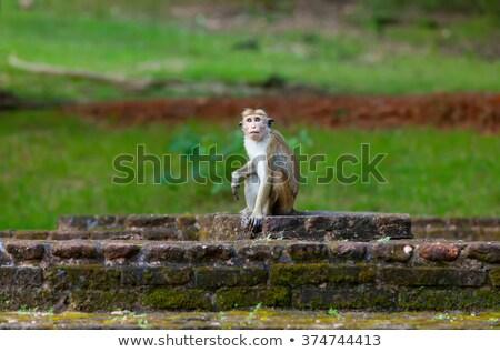 sri lanka monkey sitting on ruins stock photo © massonforstock