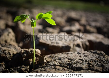 Grass sprouts on dry land Stock photo © stevanovicigor