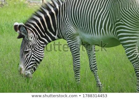 Zebra yeme su çim doğa at Stok fotoğraf © marcrossmann