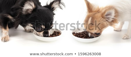 chihuahua eating dried food stock photo © cynoclub