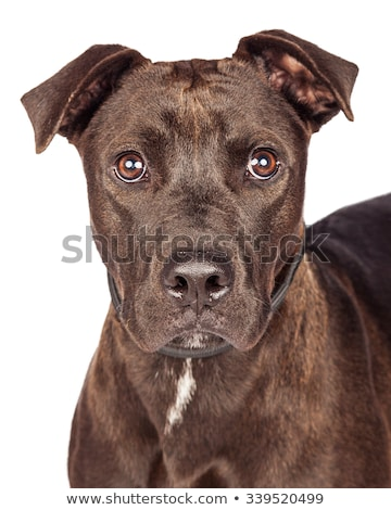 Stock photo: old mixed breed dog in a dark studio