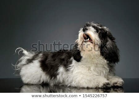 cute havanese lying in dark background studio stock photo © vauvau