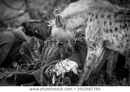 Spotted hyena at a carcass with Vultures in black and white. Stock photo © simoneeman