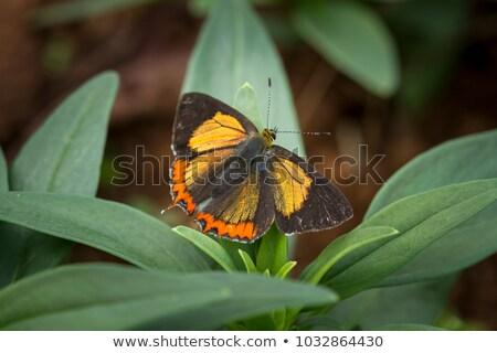 Safira borboleta luxo jóias ouro escuro Foto stock © blackmoon979