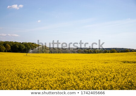 water sprinkler irrigating canola crop stock photo © pictureguy
