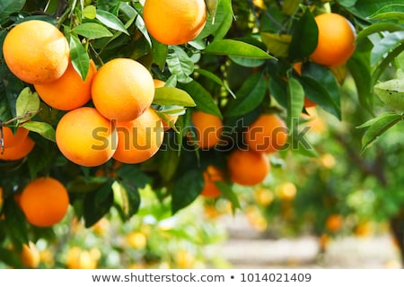 Summer tree with orange fruits Stock photo © day908