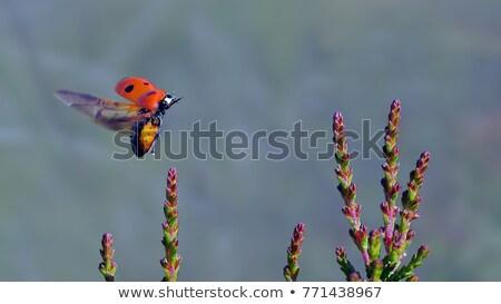 joaninha · voador · jardim · ilustração · céu · primavera - foto stock © bluering