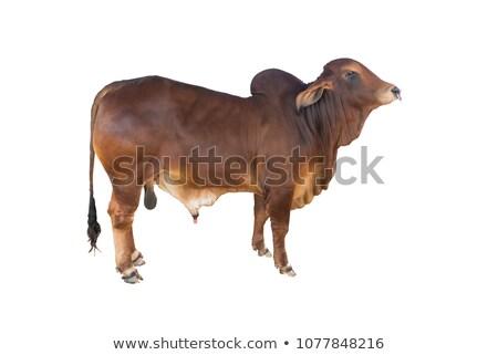 Indian stier hoofd veld oog Stockfoto © mcherevan