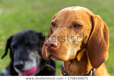 Vizsla Dog (Hungarian Pointer) Closeup Stock photo © brianguest