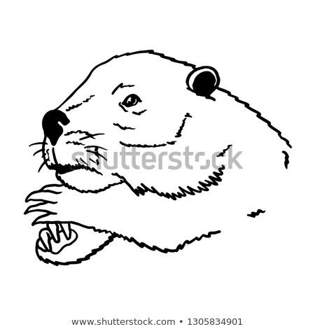 beaver on transparent background stock photo © bluering