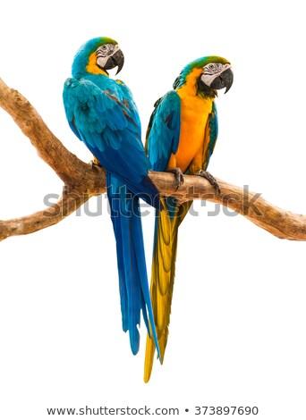 Kettő papagáj madarak színes toll illusztráció Stock fotó © bluering