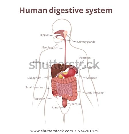 Gastrointestinal Digestive Tract Anatomy Diagram Stock photo © Krisdog