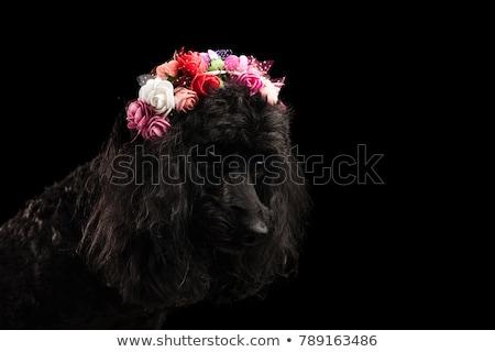 Cute caniche fleurs couronne Photo stock © feedough