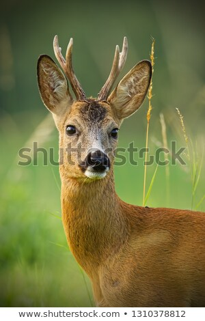 young curious roe deer buck stock photo © taviphoto
