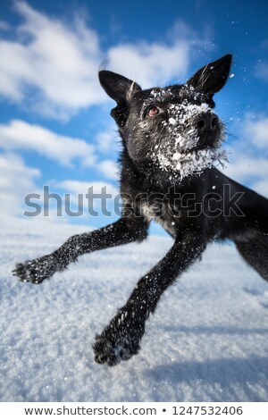 hilarious black dog jumping for joy over a snowy field on a love stock photo © lightpoet