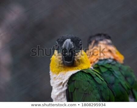 Arrabbiato piccolo pappagallo cartoon illustrazione guardando Foto d'archivio © cthoman