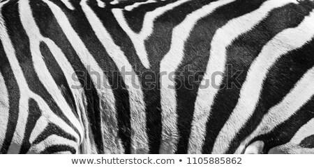 Zebra in nature frame Stock photo © bluering