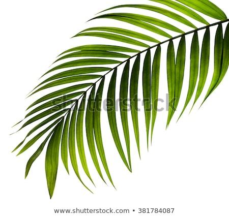 Folha de palmeira isolado branco gradiente folha Foto stock © barbaliss