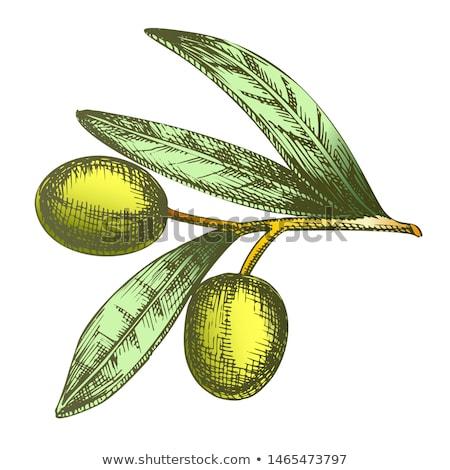 Agrarisch item olijfolie tak vintage vector Stockfoto © pikepicture