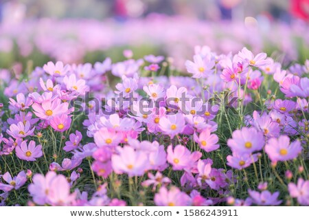 branches with fresh pink flowers in the morning sunlight stock photo © marylooo