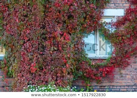 ストックフォト: ブドウ · 壁 · 家 · 秋 · 風景 · 赤