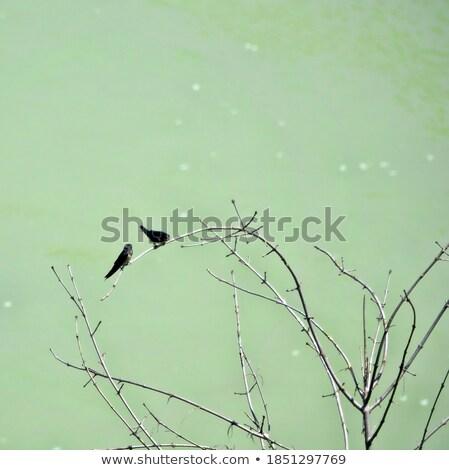 Flying swallows Stock photo © mayboro