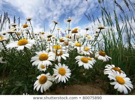 Silencio cielo azul flor puesta de sol naturaleza verano Foto stock © lypnyk2