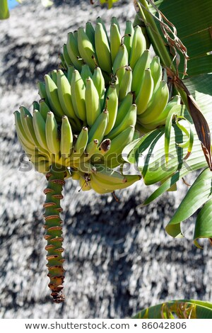 バナナ 太陽 自然 フルーツ グループ ストックフォト © gant