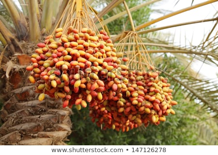 palm date cluster Stock photo © smithore