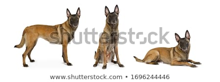 belga · juhászkutya · kutya · fehér · állat · barna · bent - stock fotó © cynoclub