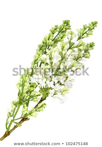sauge · Bush · vertical · isolé · blanche · jardin - photo stock © boroda