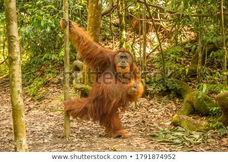 Orangutan asılı bakıyor kamera ağaç Stok fotoğraf © smithore
