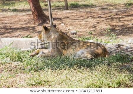 Fiatal felnőtt férfi oroszlán portré szafari Serengeti Stock fotó © photocreo