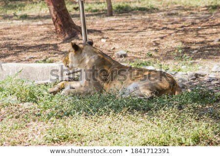 young adult male lion portrait safari in serengeti tanzania africa stock photo © photocreo