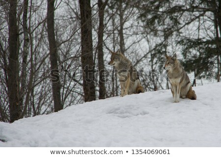 Coyote pair Stock photo © stevanovicigor