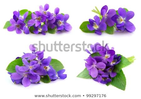 bukiet · fioletowy · kwiaty · biały · odizolowany · kopia · przestrzeń - zdjęcia stock © chesterf