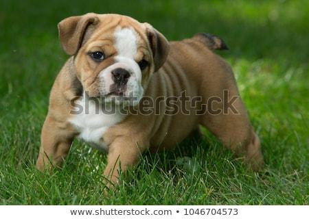 angol · bulldog · zöld · közelkép · komoly · visel - stock fotó © capturelight