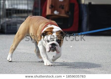 Bulldog on leash. Stock photo © iofoto