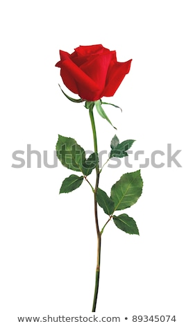 Red roses over white Stock photo © Anettphoto