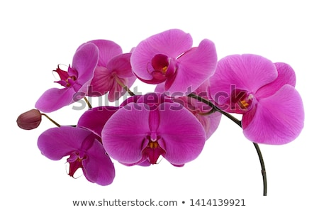 flower orchid. Stock photo © Kurhan