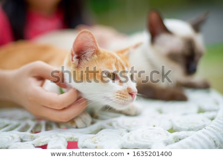 Siamese Cat and Owner Stock photo © songbird