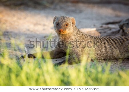 Safari parc Namibie famille animaux rat Photo stock © imagex