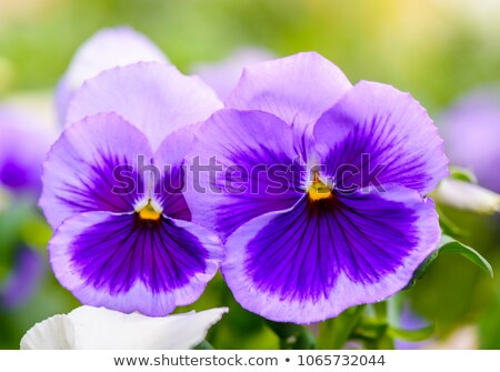 pansy flower close up stock photo © rabel