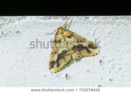 Stock photo: Mottled Umber Erannis Defoliaria