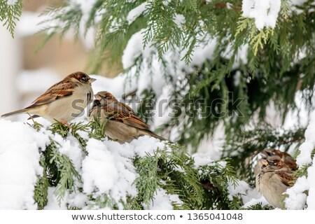 воробей создают сидят зима выстрел Сток-фото © ca2hill