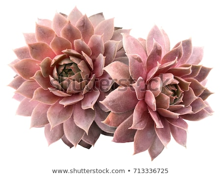 closeup image of beautiful pink cactus flower on green background stock photo © maxpro
