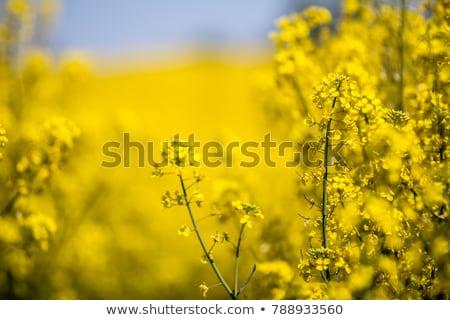 Mező nemi erőszak citromsárga kék felhős égbolt Stock fotó © Klinker